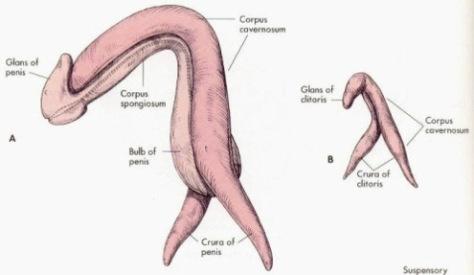 Pene clitoris